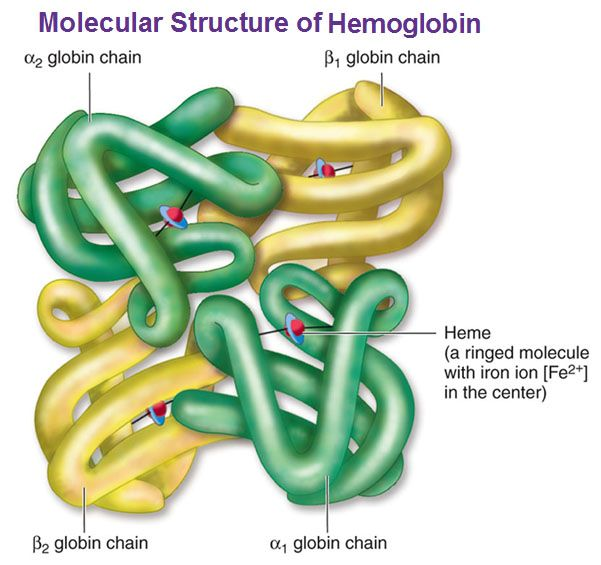 Normal hemoglobin structure